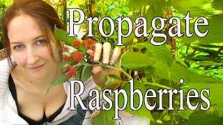 Raspberries: How to propagate raspberries  How to Grow a Beautiful Garden with Scarlett