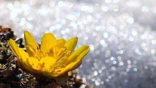 節分草や福寿草の花が咲き始めた信州の里山・4K撮影