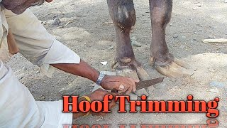Hoof trimming of Buffalo trimming of hooves by expert hoof trimmer in india
