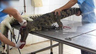 L'industrie des peaux de crocodile du Vietnam