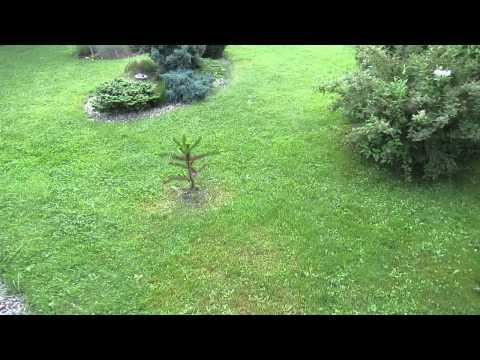 araucaria araucana-blatočet čilský