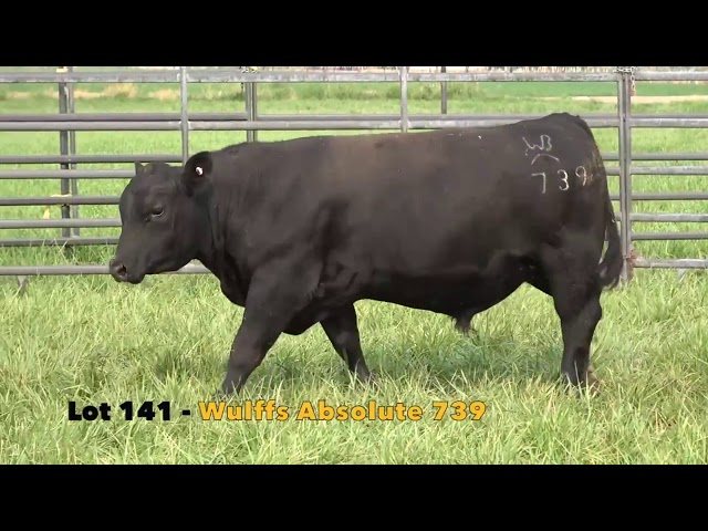 Black Gold Bull Sale Lot 141