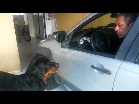 Rottweiler reencontra o dono depois de 15 dias