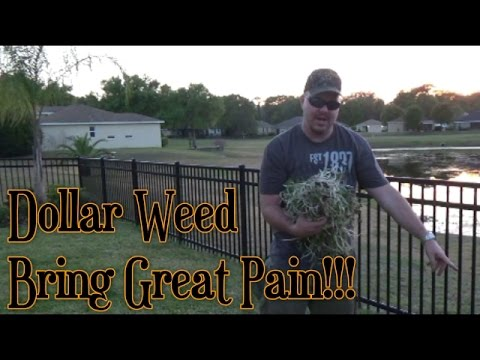 how to kill dollar weed
