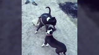 American pittbull playing with pugg 😎😎😎😎