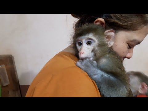 Baby Monkey Lu And Baby Lusi Are Comfortable And Fragrant