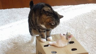 穴の開いた箱で遊ぶねこ2。-Cats playing with the box with holes 2.-