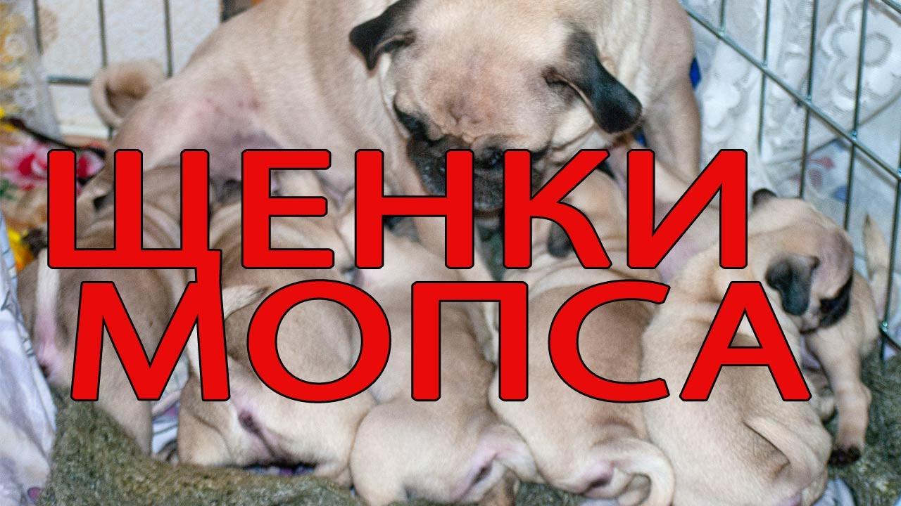 щенков мопса 1 месяц