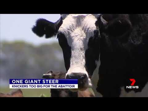 I Present To You A Giant Cow Called Knickers In Australia Videos
