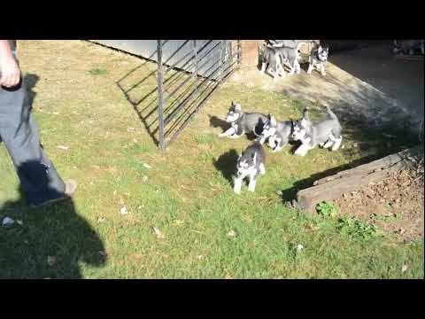 Best Dog Food For Siberian Husky Puppy Philippines