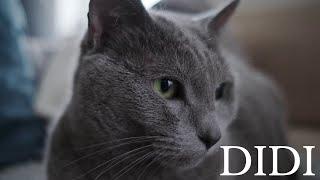 Russian Blue Cat  kotec...ek