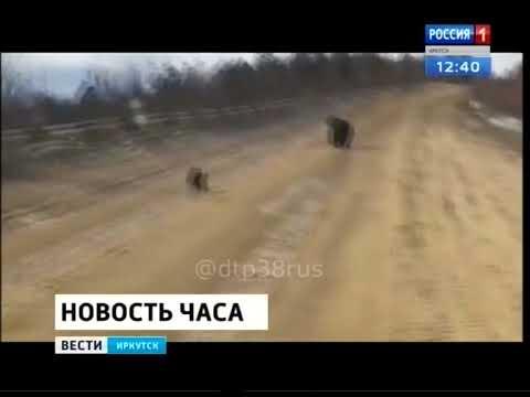 Медведей встретил водитель на трассе Таксимо — Бодайбо