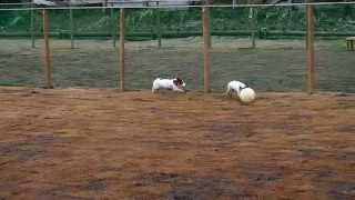 『オリーブの森』ドッグランでサッカー犬のそらが激走。 平日だったので...