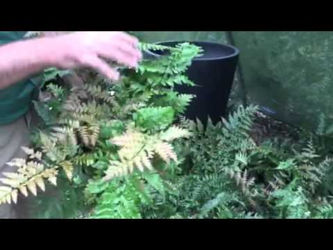 Golden Male Fern – A Handsome And Magnificent Fern