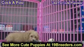 Cock A Poo, Puppies, For, Sale, In, Birmingham, Alabama, Al, Montgomery, Tuscaloosa, Jefferson, Shel