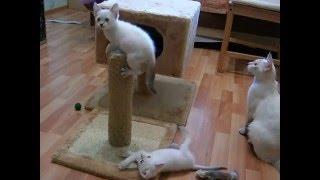 Как тайские котята и их мама играют! Смотреть всем! Тайские кошки - это чудо! Funny Cats