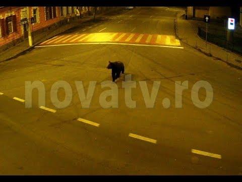 Un urs a traversat municipiul Medias de la Kaufland in Greweln   novatv.ro