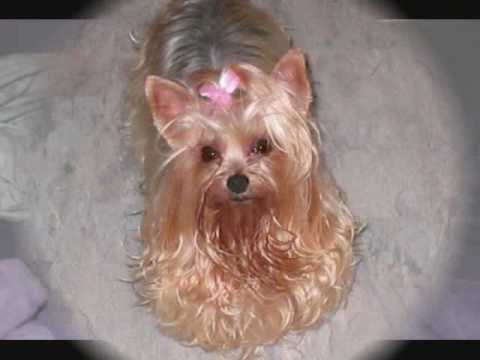 Rescue Me Yorkie Rescue Youtube