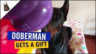 DOBERMAN Gets a KONG as a Gift!