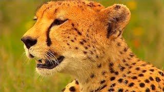 Гепард:Фатальный Инстинкт-Cheetah:Fatal Instinct,NatGeoWild