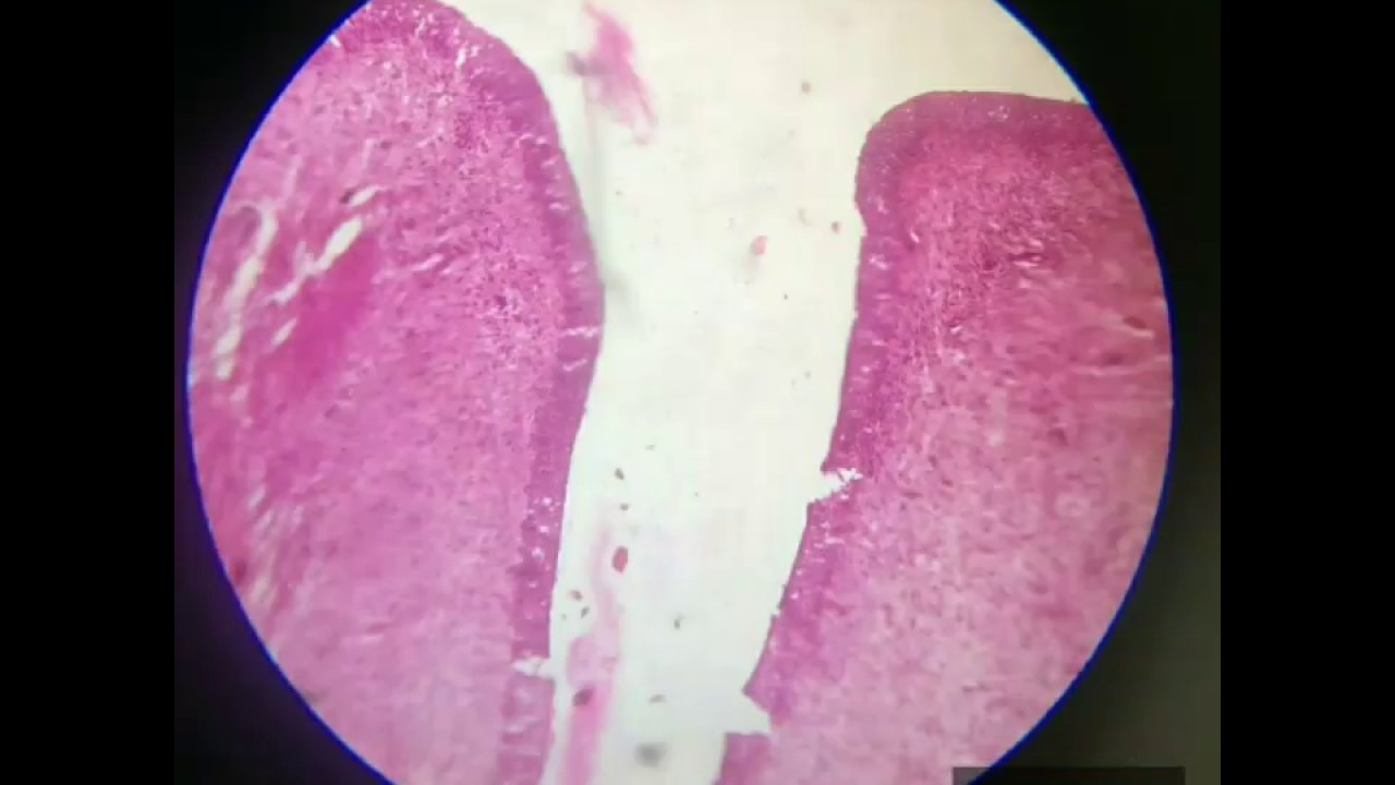 Histology slide first year MBBS (part 1/2) 720p - YouTube