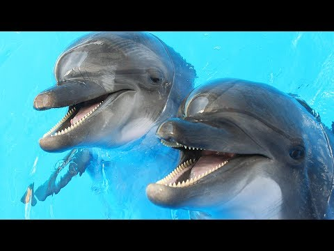 Dolphins Get High On Pufferfish   Don't Try At Home