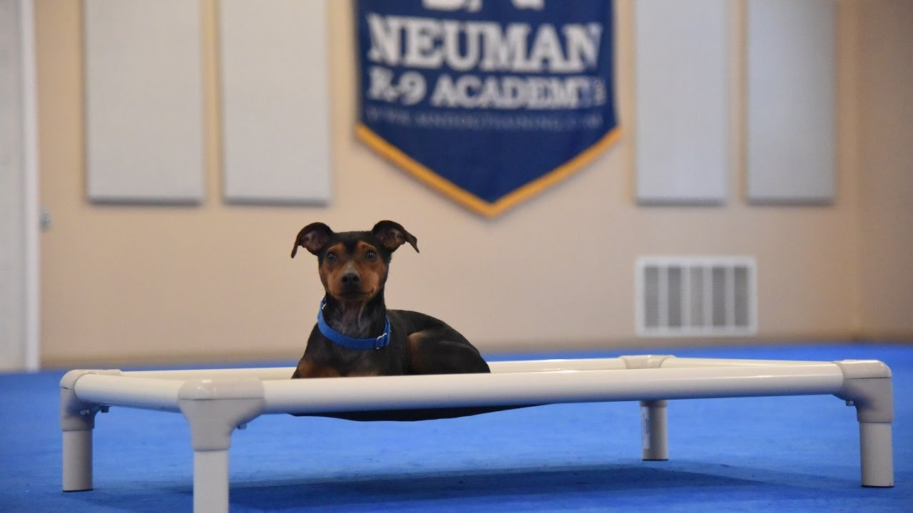 Blue Miniature Pinscher Boot Camp Dog Training