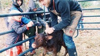 Milking Cow's 1st CALF!