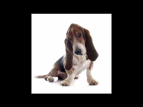 Basset Hound Puppy Dog