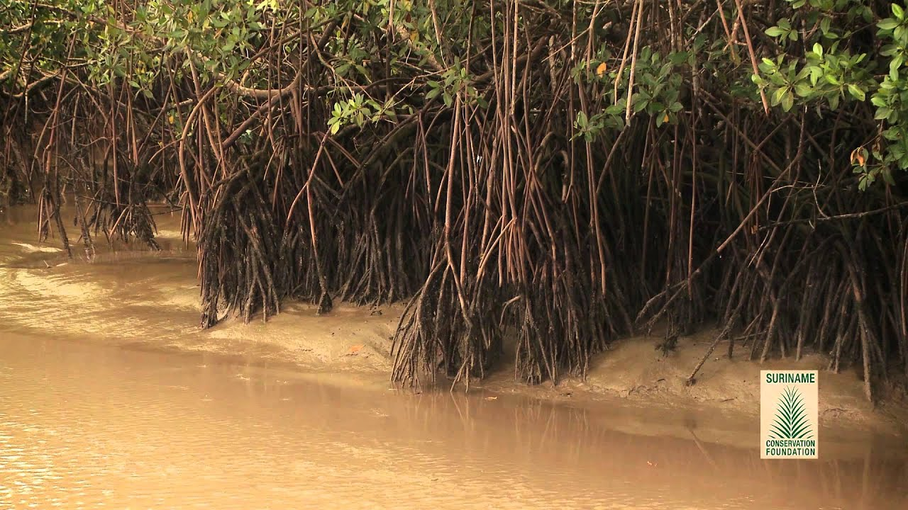 Suriname Mangrove Awareness 2 11 10 2013 - YouTube
