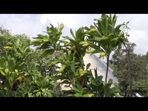 Imiloa Garden Pohina Ti Leaf