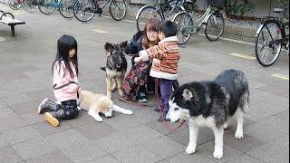 ジャーマンシェパード5ヶ月 秋田犬3ヶ月 幼稚園児の孫達との休日。 一...