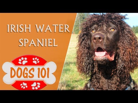 Dogs 101 -IRISH WATER SPANIEL - Top Dog Facts about the Irish Water Spaniel