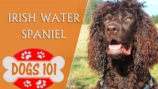 Dogs 101 IRISH WATER SPANIEL  Top Dog Facts about the Irish Water Spaniel