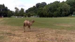 Wielbłąd na boisku! Niespodziewany gość na meczu okręgówki...
