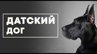 ДАТСКИЙ ДОГ. Немецкий дог. Самая крупная порода собак в мире.