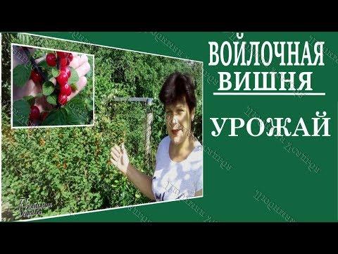 Войлочная вишня  Урожай