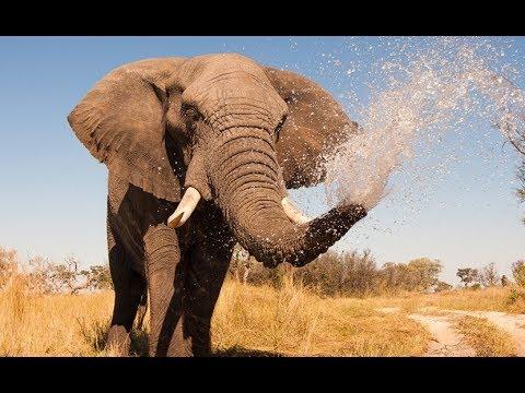 Elephant Documentary -  King Of The Africa | Kalahari Elephants