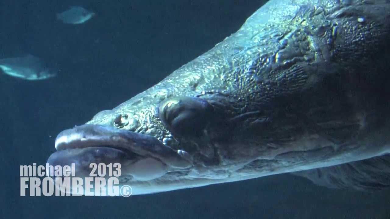Fish aquarium vancouver - The Arapaima At Vancouver Aquarium Michael Fromberg