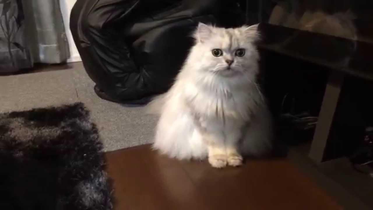 【ペルシャ猫#10】会話できる猫 チンチラシルバー ココちゃん Cat speaks , YouTube