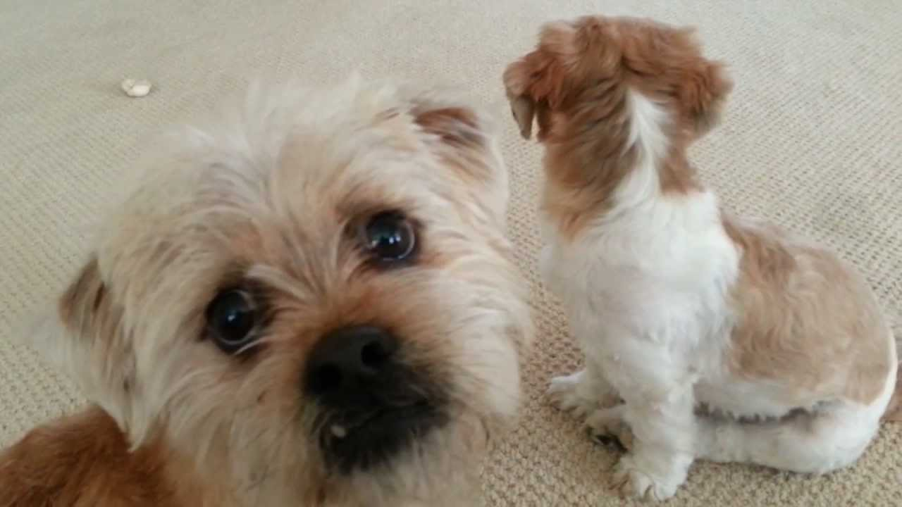 Border Terrier And Shih Tzu Playing