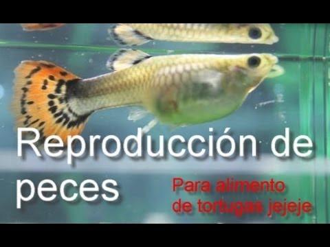 Reproducci n de peces como alimento para tortugas for Peces para criar
