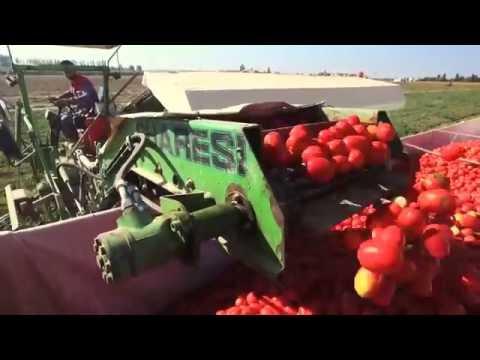 Уборка томатов комбайном