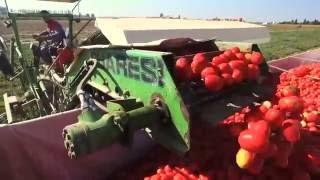 Уборка томатов комбайном Guaresi (Raccolta pomodoro G8993 del 1998!)
