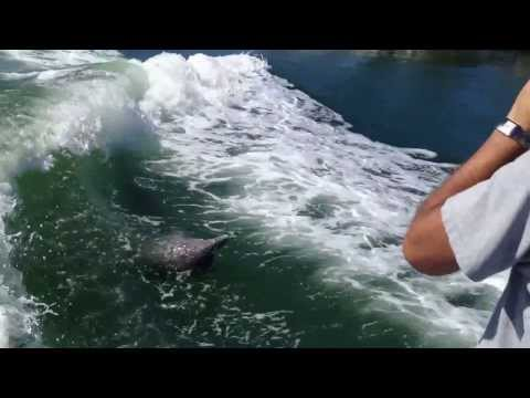 Dolphins jumping in our boat's wake offshore in Naples, FL!