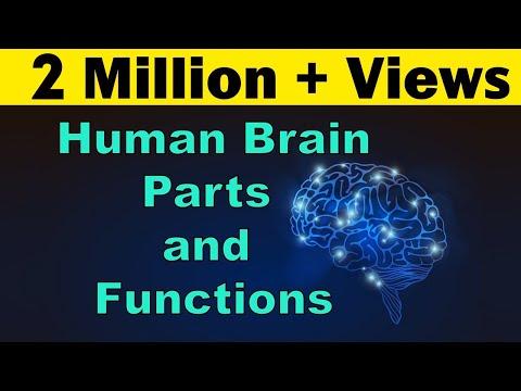 Human Brain | Parts & Functions | Cerebrum & Cerebellum | Biology | LetsTute