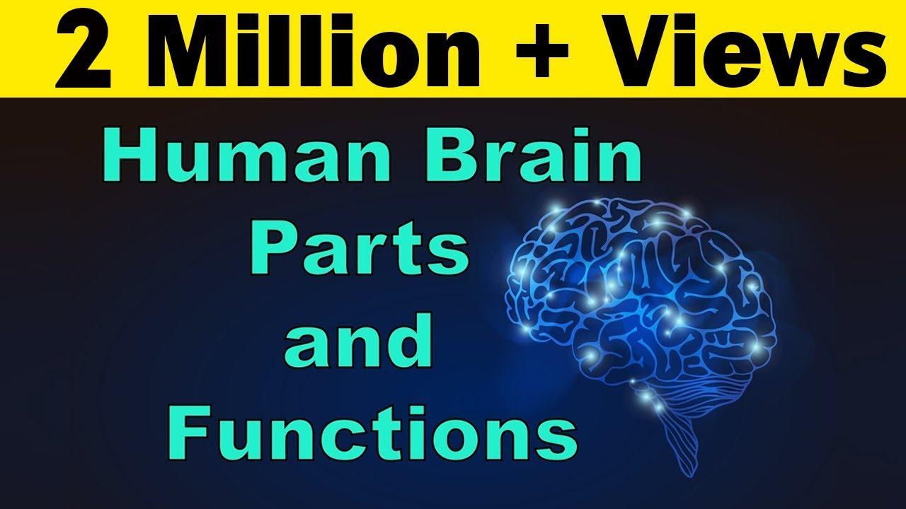 Human Brain Parts Functions Cerebrum Cerebellum Biology