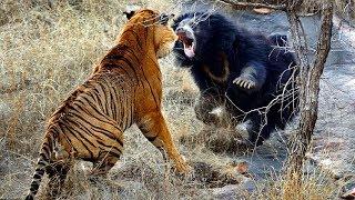 巨大な戦い▻▻ライオン・虎・熊・ゴリラ.