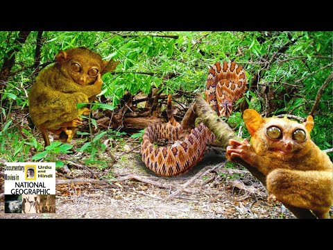 Wildlife Geographic documentary Tarsier in Hindi/Urdu | The Philippine Tarsier (Tarsius)