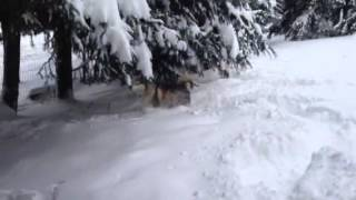 Alaskan malamute playing in snow